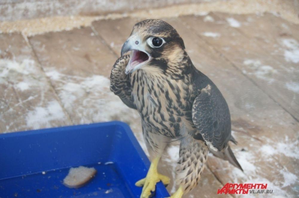 Гладить эту птичку нужно осторожно. Хищник всё-таки.