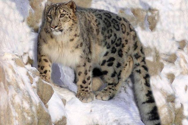 В Саяно-Шушенском заповеднике осталось всего два снежных барса.