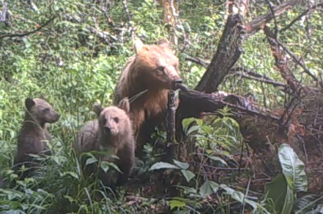 На Таганае камера зафиксировала медведицу с тремя медвежатами. Видео