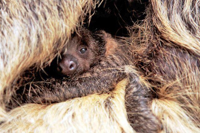 В Екатеринбургском зоопарке родился ленивец