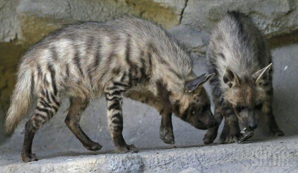 Полосатые гиены
