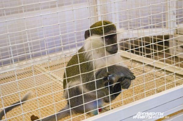 Японская макака Анфиса.