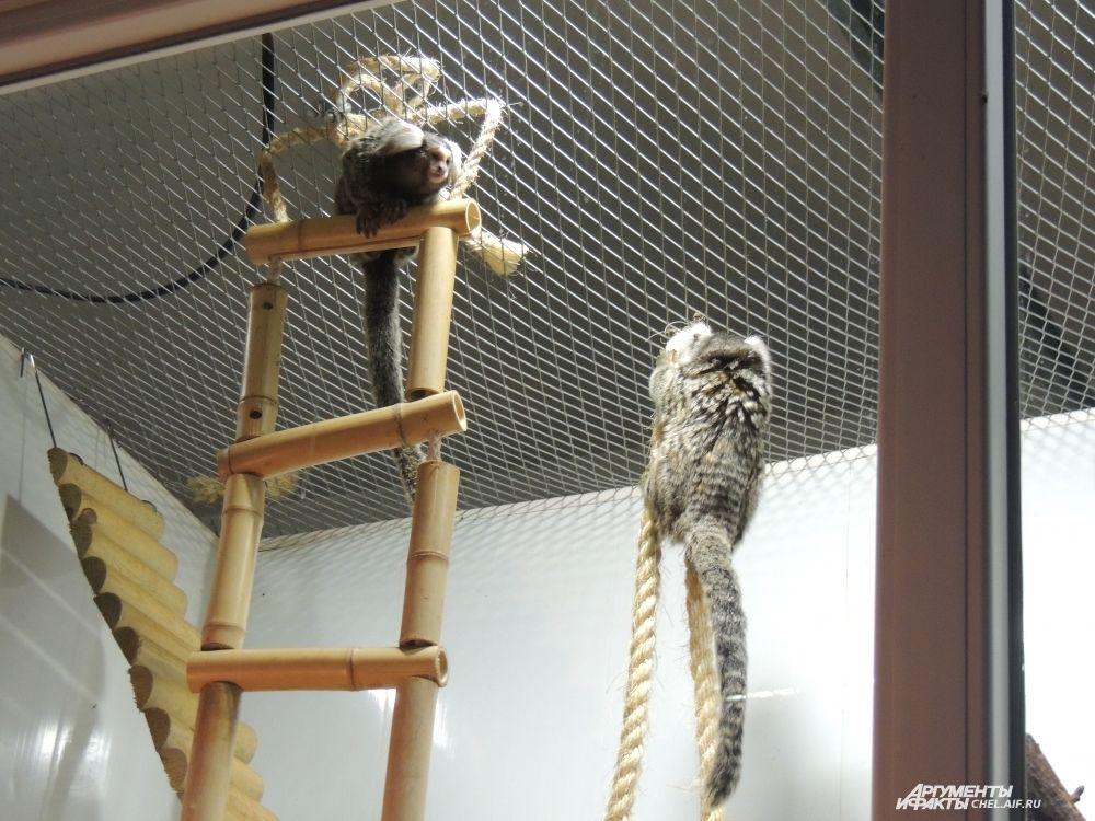 Сотрудники зоопарка с нетерпением ждут потомство от маленьких обезьян.