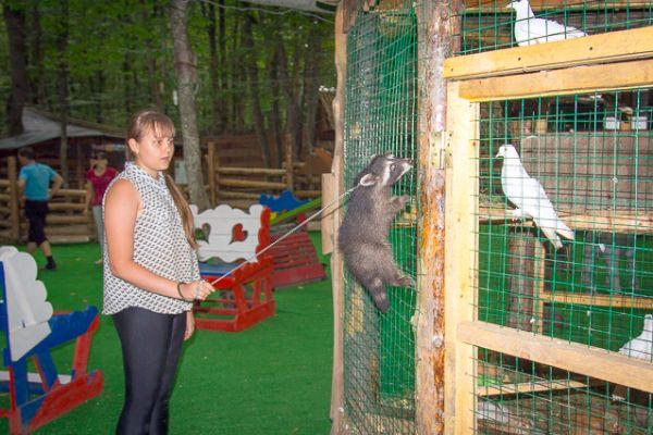 Ручной енот-полоскун на прогулке с сотрудником зоопарка