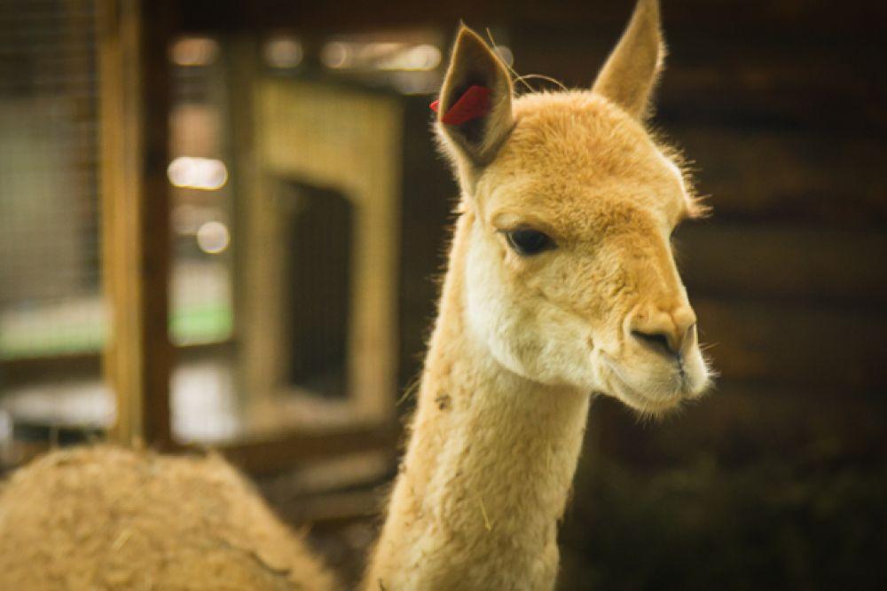 Новый обитатель зоопарка - викунья