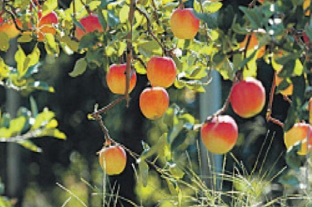 В 2014 году Яблочный Спас отмечают 19 августа