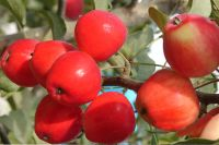Яблочный Спас будет праздноваться в Омской области.