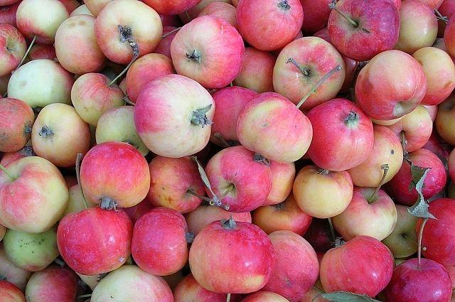 Приморский урожай яблок нынче богат.