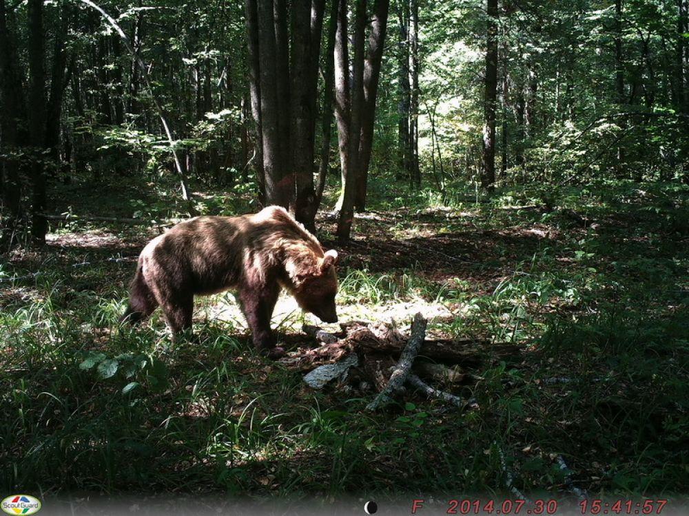 Среди всех хищников заповедника своим вниманием ловушки не почтил только волк.