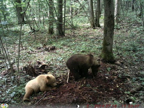 Брянский медвежонок-блондин уже стал знаменитостью.
