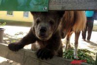Медвежонок Сеня выглядывает из загона для лошадей