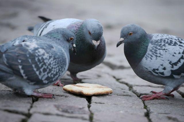Омские голуби соблюдают правила дорожного движения.