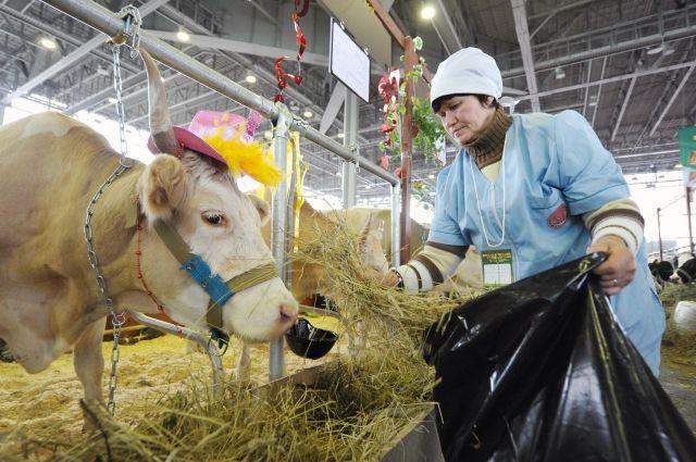 Ответные санкции России дают шанс молочному производству?
