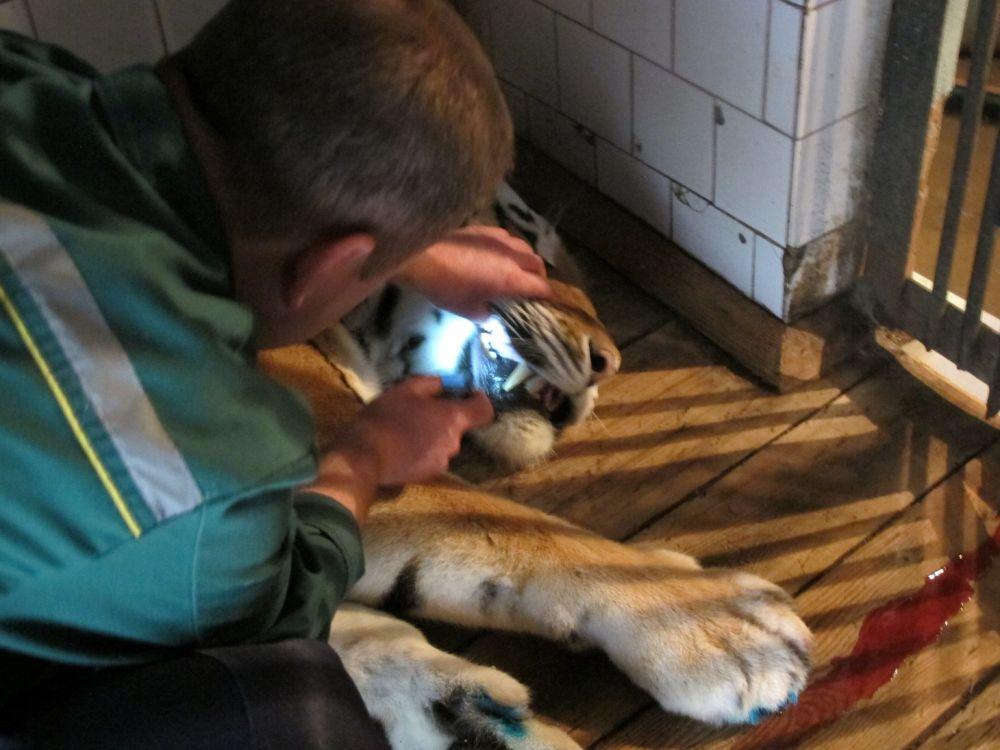 Попутно ветеринары осмотрели уши и зубы тигра. Специалисты пристально следили пациентом все время, пока он выходил из наркоза.