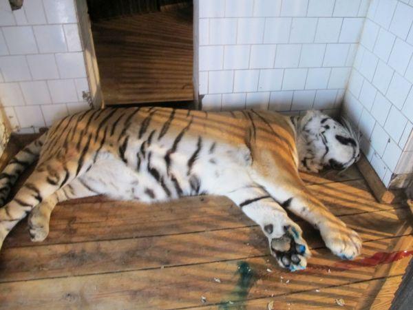 Снотворное 150-ти килограммовому тигру ветеринары  вводили с помощью специальных дротиков, выдувая из их духовой трубки. Два точных попадания  и уже через 10 минут животное крепко заснуло.