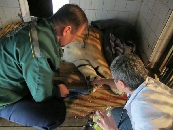 Острые кончики когтей остригли при помощи щипцов, раны на подушечках обработали дезинфицирующим раствором.