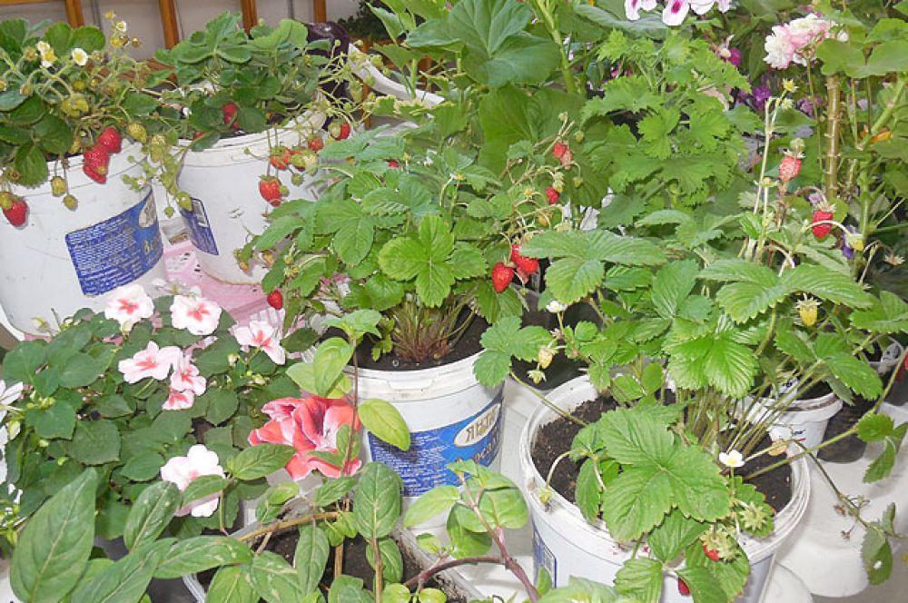 Даже землянику для выращивания в городской квартире можно было приобрести на «Золотой сотке».