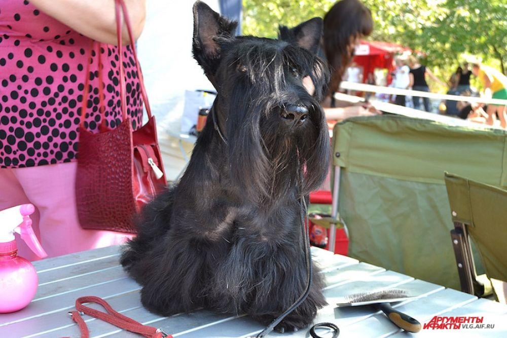 Йоркширский терьер - одна из самых популярных «сумочных пород». Зачастую эти собаки являются больше модным аксессуаром, нежели питомцем