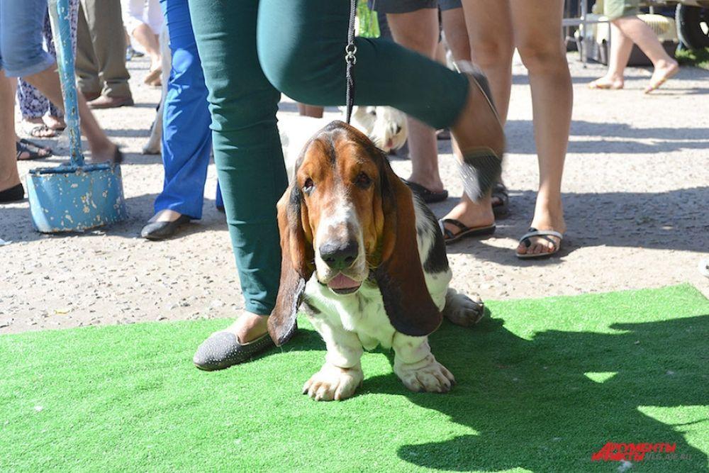 Бассет-хаунды известны как собаки с длинными ушами и грустными глазами