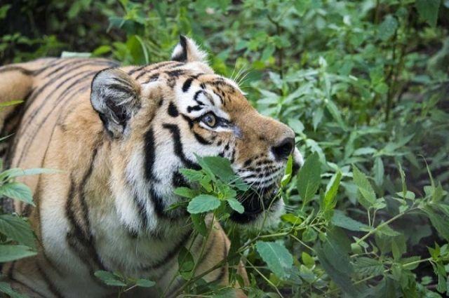 Тигр Жорик уже заметно возмужал в центре для животных в Хабаровском крае.