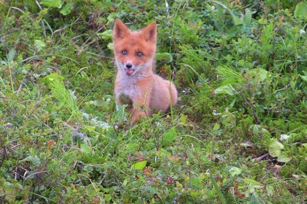 Молодые лисицы осваивают новые территории.