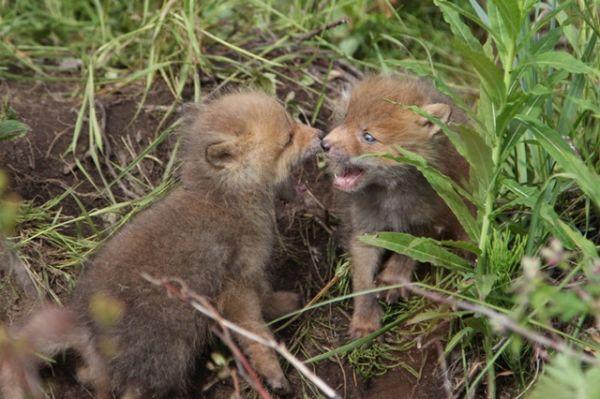 Как выяснилось, у каждой лисицы свой характер.