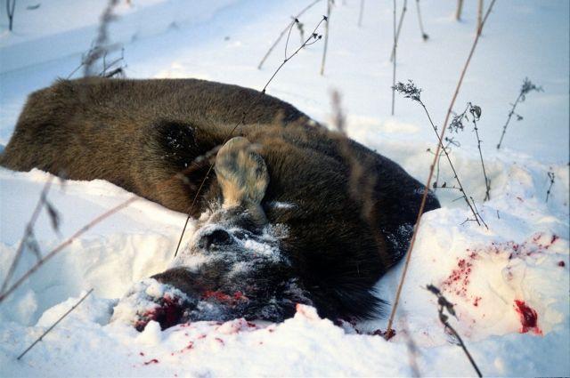 Убитый лось.