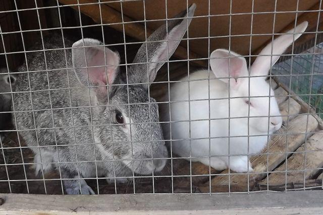 Кролики - это хорошая замена традиционному хозяйству.
