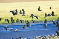 На миграцию журавлей приезжают сотни туристов со всей России