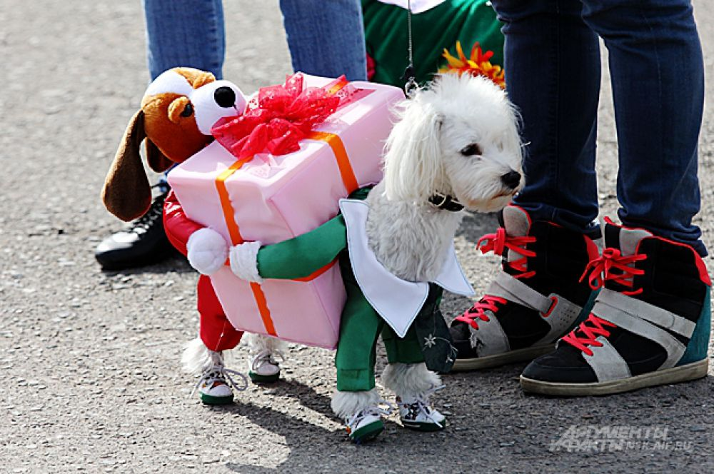 Более 30 костюмированных собак - кроме этого потешного тяни-толкая - приняли участие в карнавале.