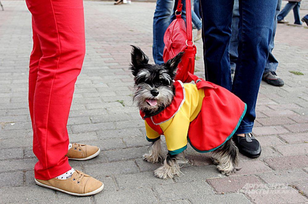 Собака в модном платье.