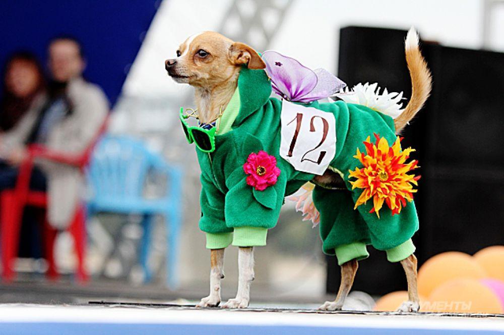 Этот пёс заслужил титул «Мистер Карнавал»