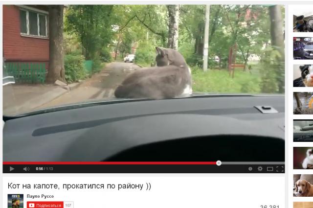 Кот был удивлён, обнаружив себя на капоте двигающейся машины.