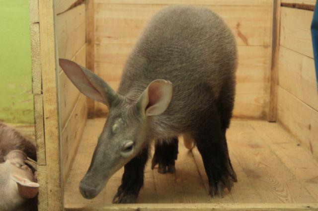 Трубкозуб Батон из зоопарка Екатеринбурга переехал в Нижний Новгород