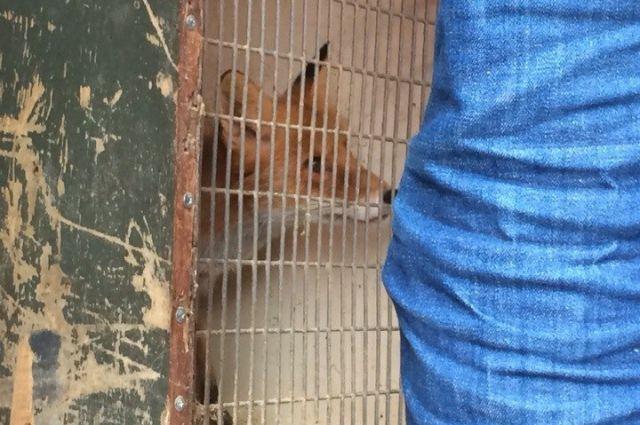 Одна из лис, пострадавших от организационных разногласий.