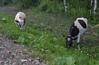 Новые хозяева вместе с коровой получат также бесплатный корм для нее.