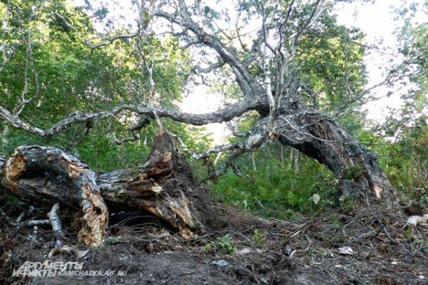 Многовековые берёзы валятся во все стороны, подламывая рядом стоящие деревья.