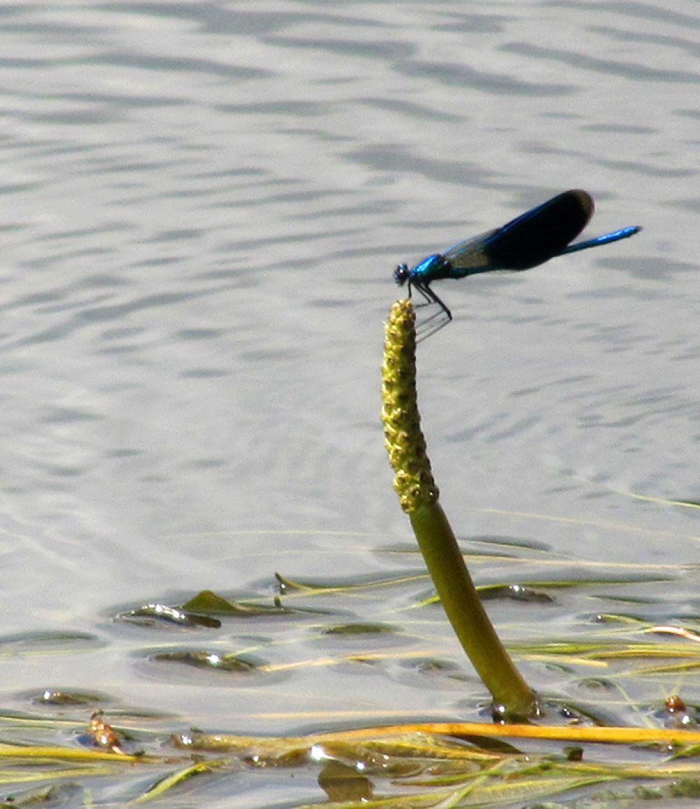 Стрекозы есть – значит, вода чистая
