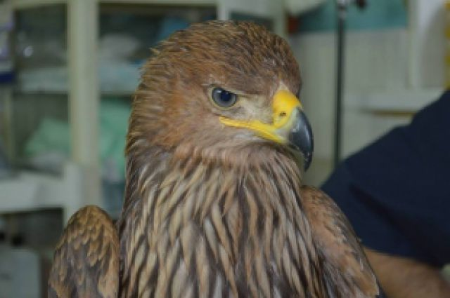 В Челябинске спасенный орел-могильник станет символом региона