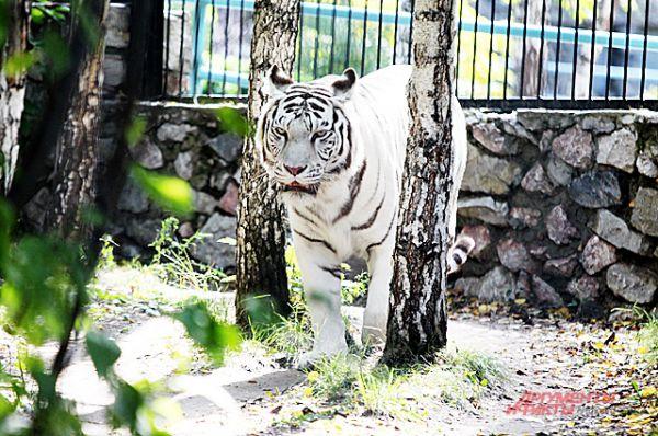 Греясь в последних тёплых лучах солнца, белый тигр маскируется среди берёз.