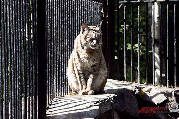 От солнца и тепла кошачье жмурится, как обычная домашняя кошка.