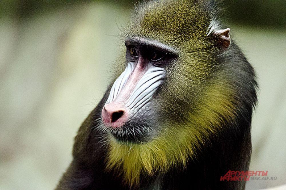 Не все обезьяны улыбаются осени. У некоторых в глазах - настороженность.