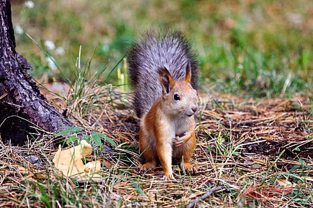 Чудесная белка, которая обитает в зоопарке вне вольеров, озадачена поисками орешков.