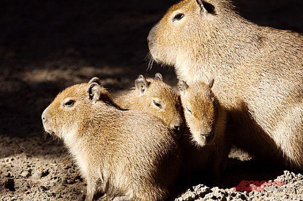 Капибары меланхолично медитируют под сентябрьским солнцем.