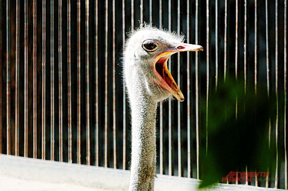 В открытом для солнца вольере страусов - об осени пока не задумываются.