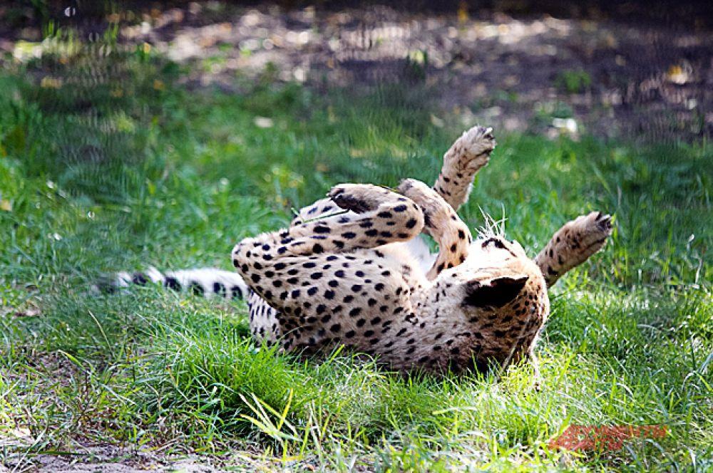 Вполне взрослый леопард, по свидетельству очевидцев, ведёт себя как котёнок.