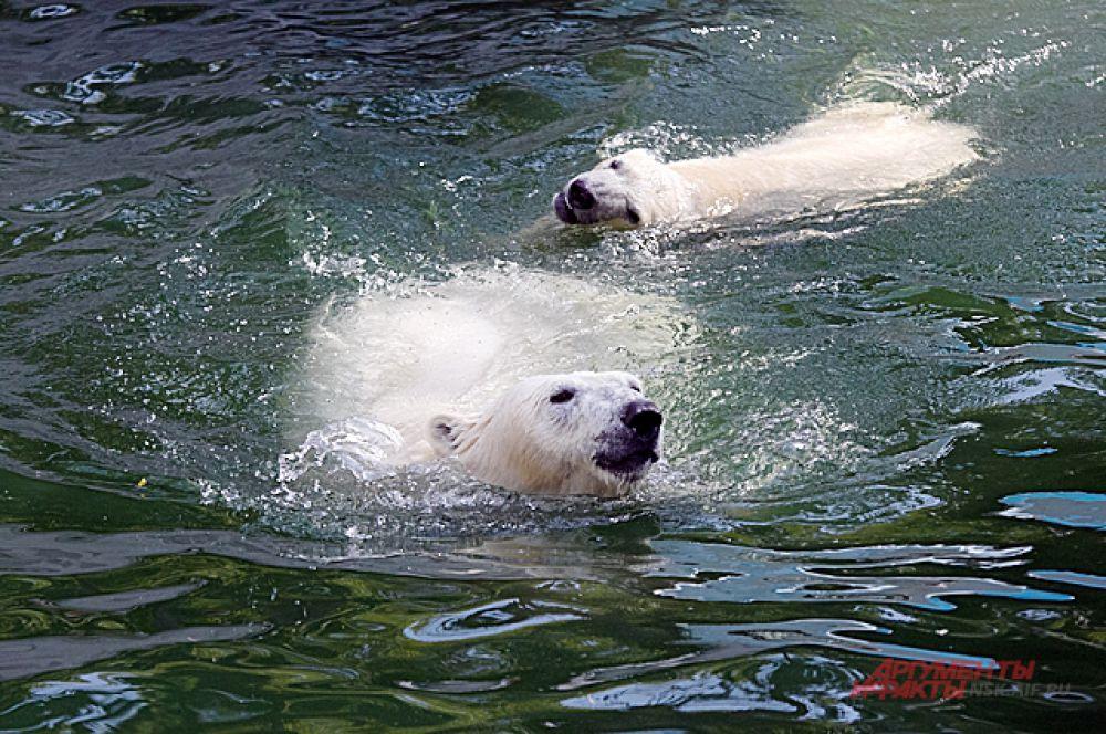 По размеру медведица, которой нет ещё и года - уже почти догнала крупных размеров собаку.