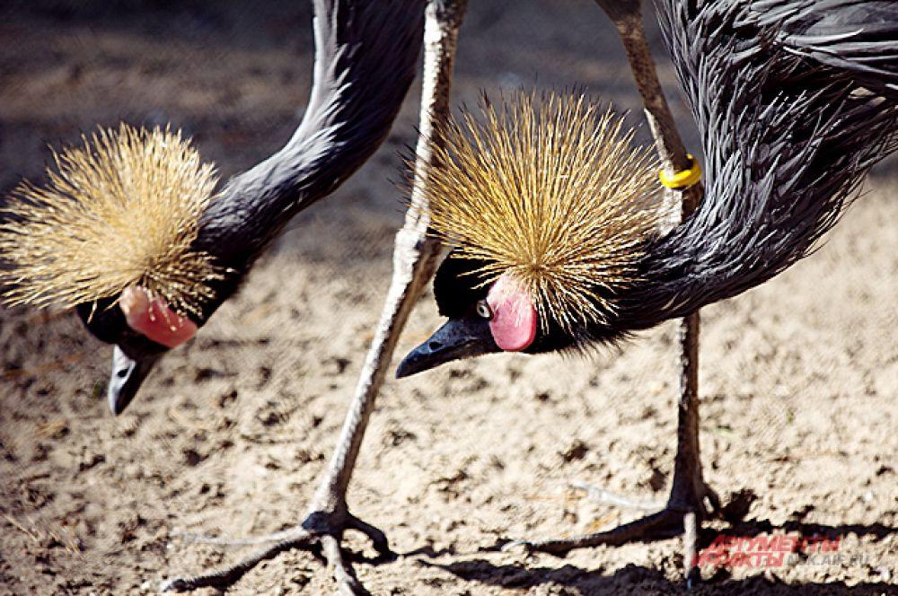 Венценосный журавль: две головы, две ноги.