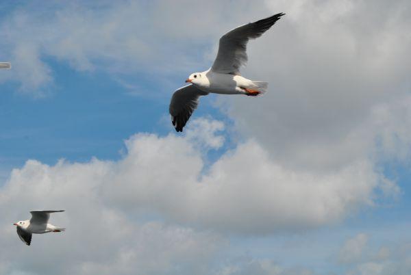 Неотъемлемый атрибут морского пейзажа – чайки. В этом году их стаи буквально встречали гостей Крыма на паромной переправе. Стаи чаек провожали с материка на полуостров каждый паром, выпрашивая у восторженных туристов крошки хлеба.