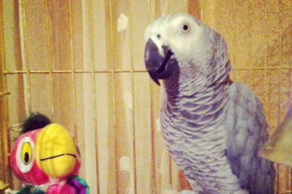 Попугай жако по имени Апероль. Автор фото Олеся Шерозия